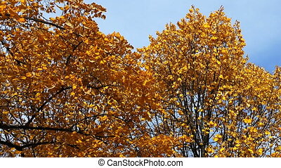 Poplar tree with yellow leaves. Autumn.