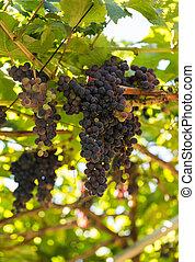 Bunches of Tinta Negra Mole grapes on pergola in Estreito de...