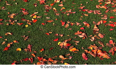 Red maple leaf on the grass. Real time.