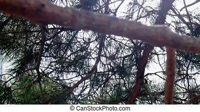 Pine tree footage backlit