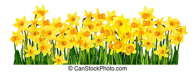 Blossoming yellow daffodils isolated on white - Bright...