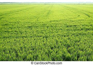 Rice field green meadow in Spain