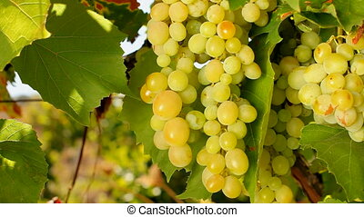 Inspection of white grapes - Inspection of first-class white...
