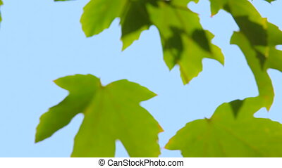 Maple leaves against the blue sky.