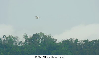 White Egret at Phuket Airport - Great white Egret flies over...
