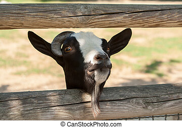 Close up of Goat head through a fence