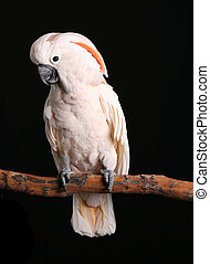 Calm Male Moluccan Cockatoo on Black - Male Moluccan...