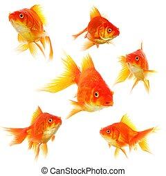 goldfish - collection of goldfish isolated on white showing...