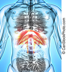 3D illustration of Diaphragm, medical concept. - 3D...