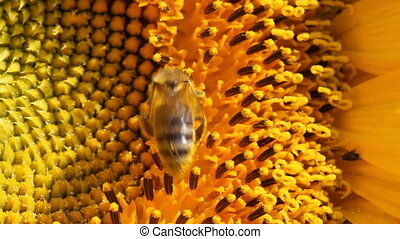 Bees work on sunflower macro view - Sunflower macro