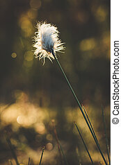 Cotton grass and blurry background - Cotton grass in the...