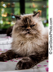 Persian Cat, lovely animal and pet
