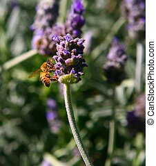 Insect Bee Investigating a Lavender Plant
