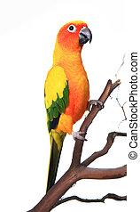 bonito, sol, conure, pássaro, ramo