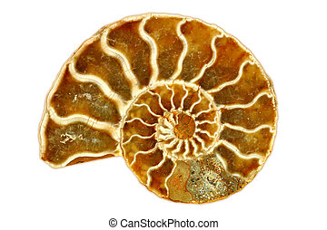 Striking Isolated Single Nautilus Fossil on White Background...