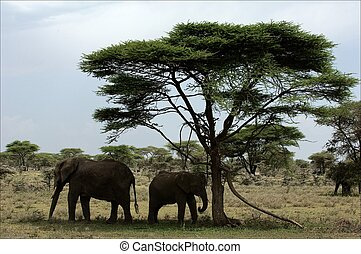 The elephant calf with mum in an acacia shade.