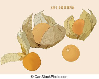 cape goose berry vector
