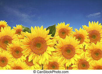 Pretty Sunflowers In a Field With Blue Sky