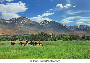 Brown Horses Grazing in the Mountain Meadows