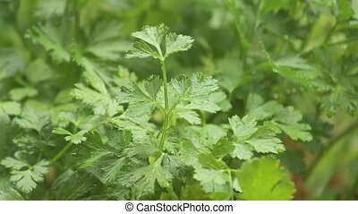 Rain On Parsley - Rain falling on the fresh herb Italian...