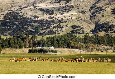 Red Deer Herd.