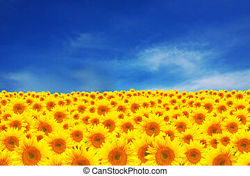 Field of sunflowers with beautiful clue sky - Green grass...