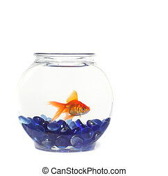 Lone Goldfish in a Fishbowl WIth Blue Rocks