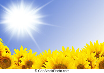 beautiful sunflowers with blue sky and sunburst