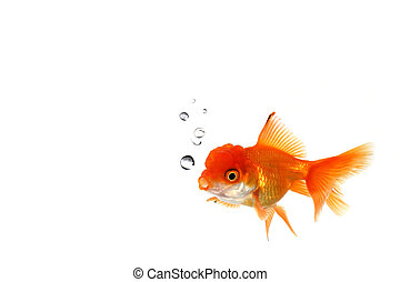 Fancy Orange Goldfish in the Water - Lone Goldfish in an...