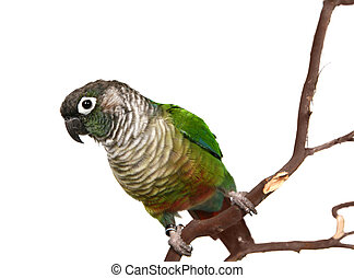 Green Cheek Conure on White