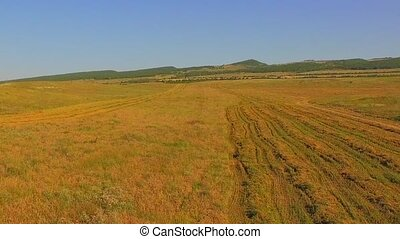 AERIAL VIEW. Harvest Wheat Field With Working Combine