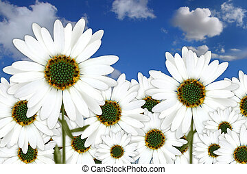 Bright Pretty Daisies Outdoors in a Field
