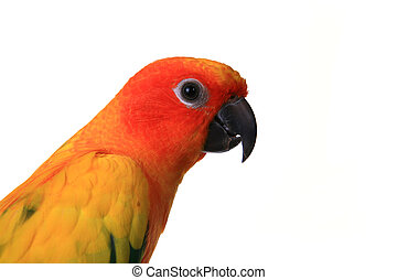 Head Shot of A Sun Conure Bird on a Branch - Bold Colored...
