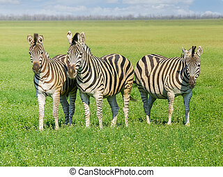 Three Grevy's zebras in steppe in the spring - Three Grevy's...