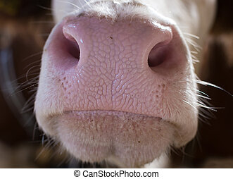 Close up of cow's muzzle - Close up of cattle's muzzle....