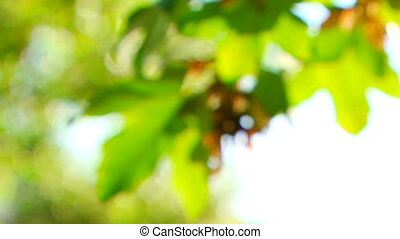 Maple seeds on a branch
