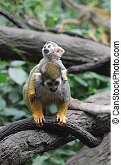Mother Squirrel Monkey Carrying a Baby on Her Back