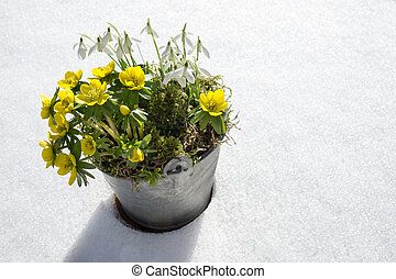 The first signs of spring. Winter aconite and snowdrops in a...