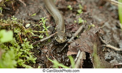 Grass snake. Close up shot. Clean and bright daytime.