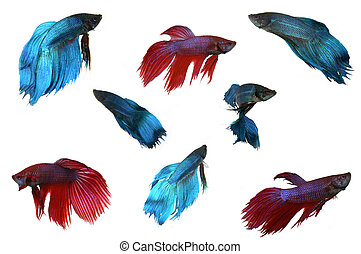Isolated Male Beta Fish - Multiple Isolated Beta Fish on...