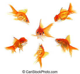 I am in Big Trouble - Angry Goldfish Ganging Up on a Peer...
