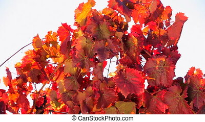 Black vine with red leaves