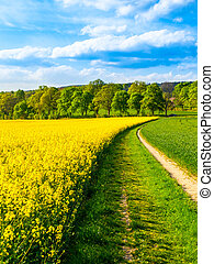 Field of rapeseed, aka canola or colza. Rural landscape with...