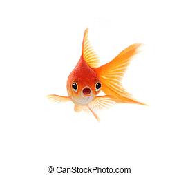 Shocked Goldfish Isolated on White Background - Goldfish...