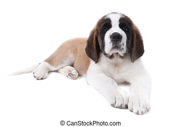 Sweet Puppy Saint Bernard on a White Background