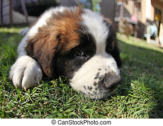 Puppy Lying in the Grass Looking Sad - Sweet Saint Bernard...