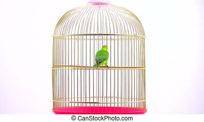 fischeri lovebird parrot on a white screen