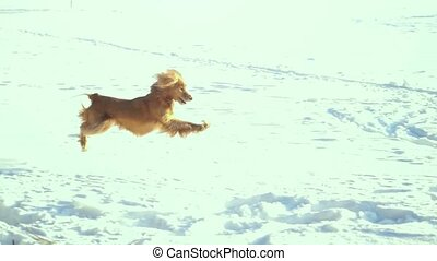 Happy dog Cocker Spaniel running jumping in nature in winter, enjoying in slow motion.