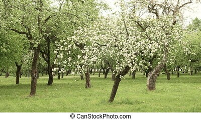 Apple tree farm. Smooth slider shot. Clean and bright...