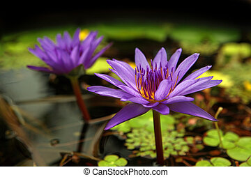 Purple Water Lillies and Pads